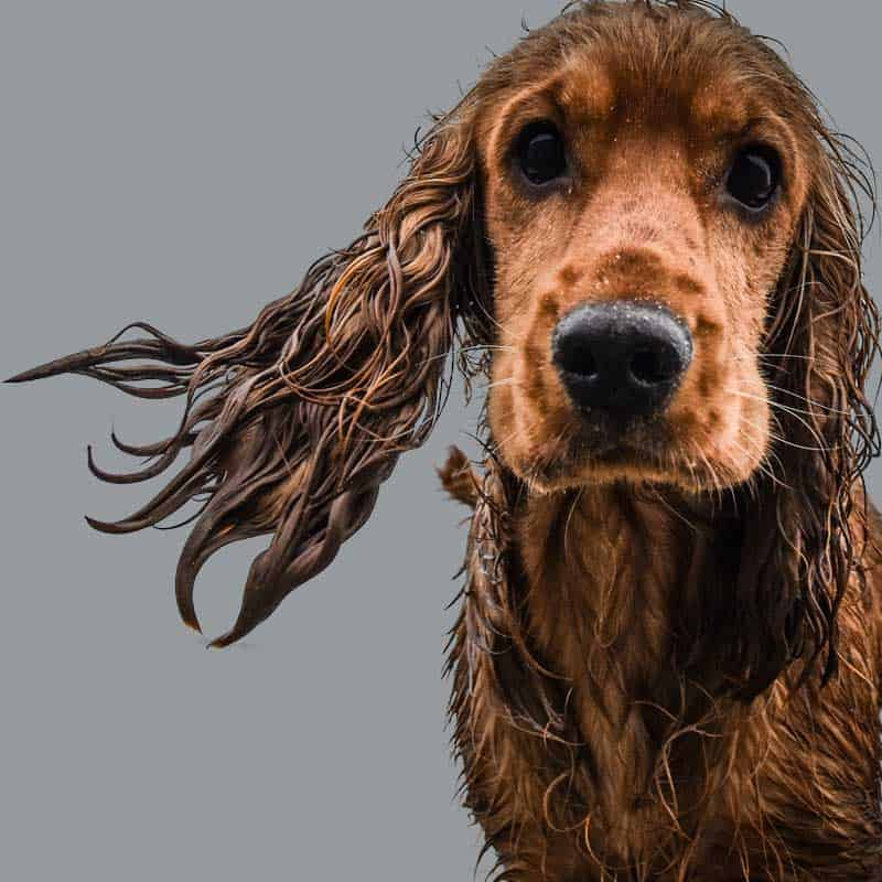 hydrotherapy dog canine pet hydrotherapist fun swimming pool vet referral Singapore underwater treadmill