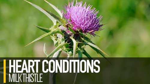milk thistle heart conditions murmur disease dogs
