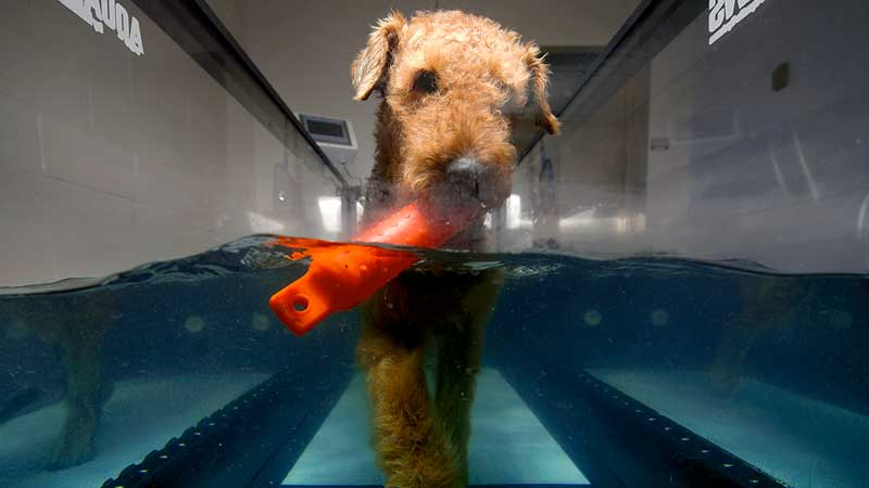 dog hydrotherapy treadmill underwater pool swimming walking aquatic water