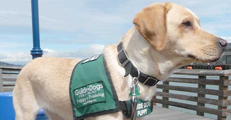 singapore guide dogs for blind visual disabled