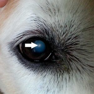 dog mature immature cataract eyes