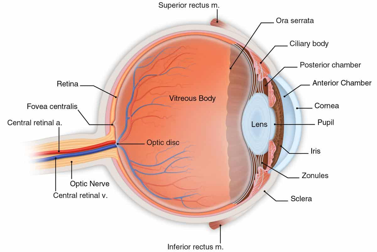 Possibly A New Hope For Dogs With Cataracts Lanomax